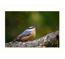 Nuthatch Bird Art Print