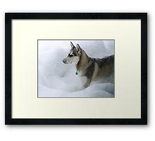 Husky Sibérien Framed Print