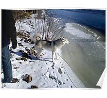 Husky Sibérien Poster