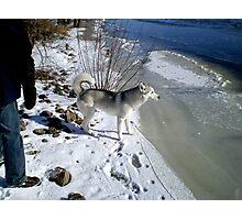 Husky Sibérien Photographic Print