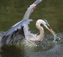 Great Blue Heron by Laurie Puglia