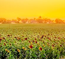 Sunflower Sunset by Russell Charters