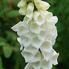 white foxglove by Rainydayphotos
