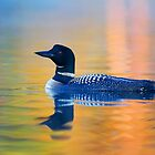 Rainbow Loon- Common Loon by Jim Cumming