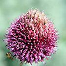 Allium Flower head  by Karen  Betts