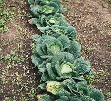 Cabbage Row by PatiDesigns