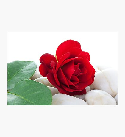 Red Rose on White Pebbles Photographic Print