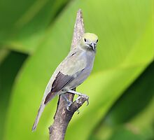Palm Tanager Green Leaves by hummingbirds
