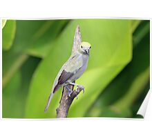 Palm Tanager Green Leaves Poster
