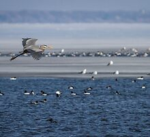 Great Blue Heron In Flight 2014-2 by Thomas Young