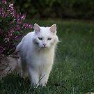 White cat I by Lynn Starner
