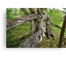 FIG TREE Canvas Print