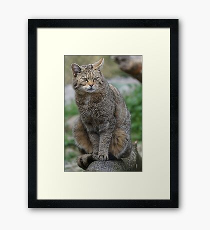 Wildcat Framed Print