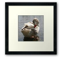 White Duck Spring Preening In Water Framed Print