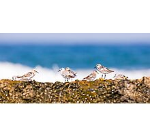 a group of little stint (Calidris minuta).  Photographic Print