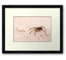 Wolf spider (Family Lycosidae) on sand Framed Print