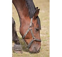 Close up of a Thoroughbred Horse Grazing Photographic Print