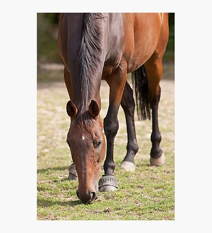 Thoroghbred Horse Grazing Photographic Print