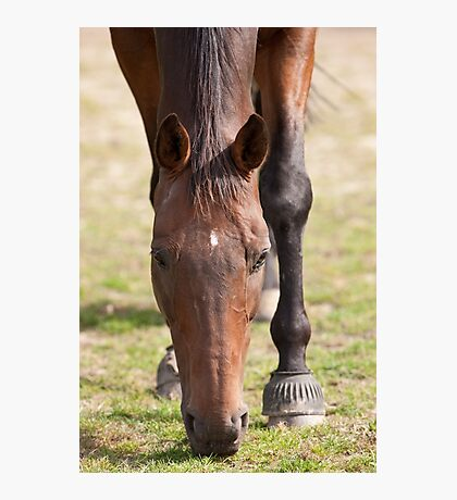 Thoroughbred Horse Grazing Photographic Print