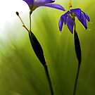 Blue-Eyed Grass by T.J. Martin