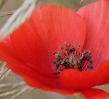 Red poppy in corn Sticker