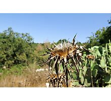 Dry milk thistle in summer Photographed in Israel in July Photographic Print