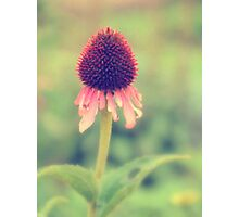 Beauty Fading ~ Flower. Photographic Print