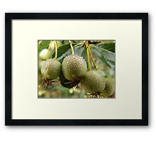 Wet Crabapples Framed Print