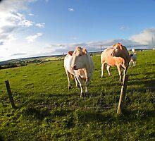 cows in sun by terrileecowie