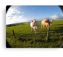 cows in sun Canvas Print