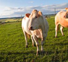 cows in sun Sticker