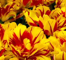 Yellow Tulips of Holland Sticker
