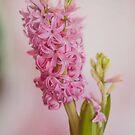 Sweet Hyacinths by Nicole  Markmann Nelson