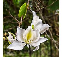 Beautiful Butterfly tree flower Photographic Print