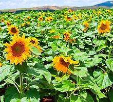 Blooming sunflowers in a field Photographed in Israel in May by PhotoStock-Isra