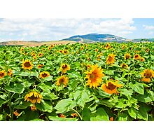 Blooming sunflowers in a field Photographed in Israel in May Photographic Print