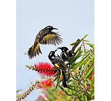 New Holland honeyeaters, Kangaroo Island Photographic Print