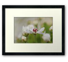 Macro Korean Sun Pear Blossom 2 Framed Print