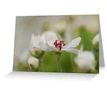 Macro Korean Sun Pear Blossom 2 Greeting Card