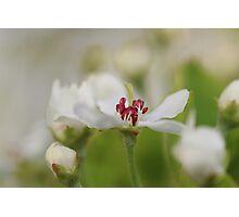 Macro Korean Sun Pear Blossom 2 Photographic Print