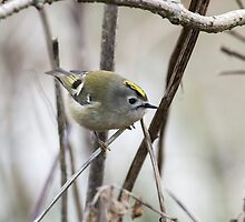 Goldcrest flashing its crown by Ashley Beolens