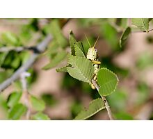 Grasshopper Spying Photographic Print