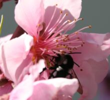Unidentified Winged Insect On Peach Tree Blossom Sticker