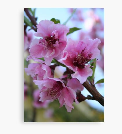 Peach Tree Blossom Close Up Canvas Print