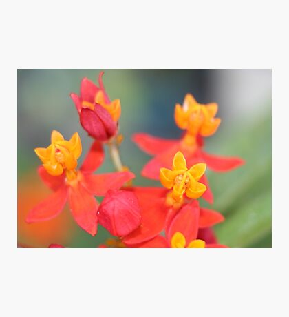 Echeveria Succulent Red and Yellow Flower Photographic Print