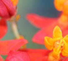 Echeveria Succulent Red and Yellow Flower Sticker