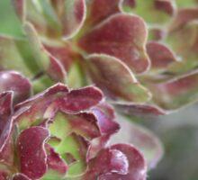Close Up Of Aeonium Succulent With Garden Background Sticker