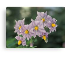 Potato Flowers Solanum Rantonnetii Royal Robe Canvas Print