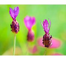 Lavender Bud Painting Photographic Print