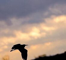Grey Heron Silhouette by Iain Challis Photography